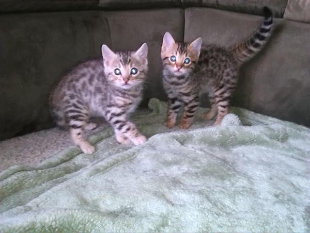 Baby Bengal Kittens for Sale in Rio Linda, California