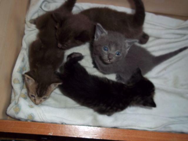 Snowshoe Siamese Kittens for Sale in Franklin, Massachusetts