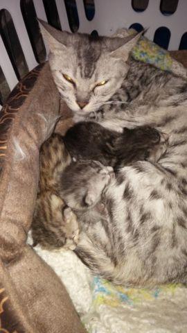 Bengal Munchkin Kittens