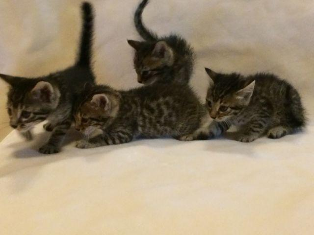 Bengal Baby Kittens