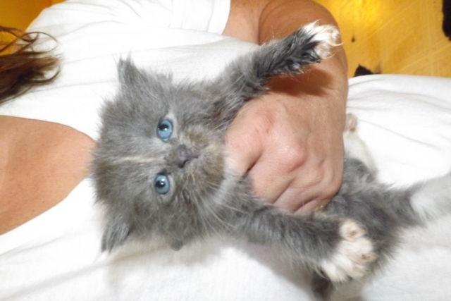 Persian/Maine Coon Kittens for Sale in Kittanning, Pennsylvania