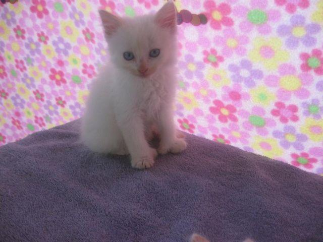 Ragdoll / Himilayan Mix Kittens...Blue Eyes...Extra Toes...Flame Point