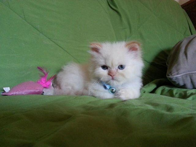 CFA Registered Himalayan Kittens For Sale for Sale in