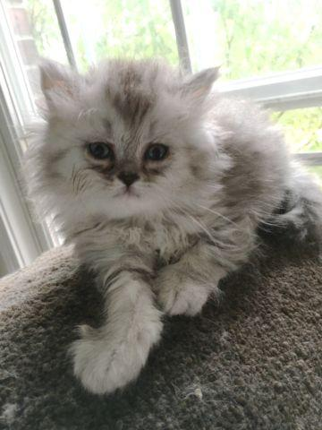 Persian cats for sale fort wayne indiana