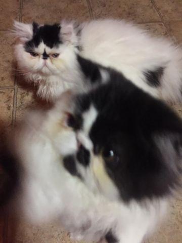 Beautiful Persian Kittys