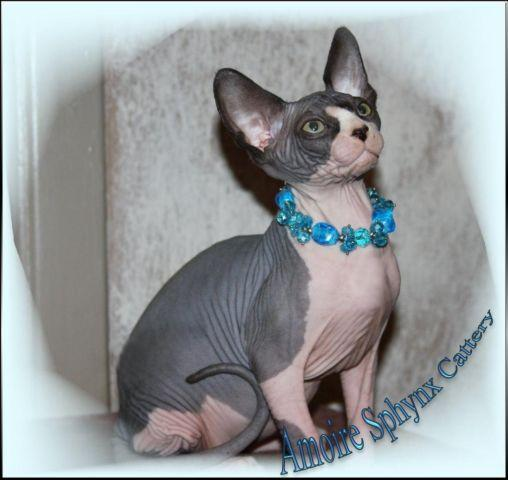 Sphynx kittens Paducah Ky Amoire Sphynx for Sale in Avondale