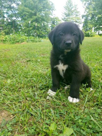 Pyrador Puppy (Lab/Great Pyrenese)-Male
