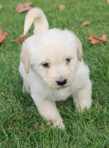 Tanner- male Labradoodle