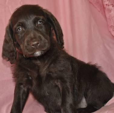F1B Chocolate Labradoodle Puppies