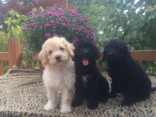 F2 Mini Labradoodle Puppies For Sale In Alliance Ohio Classified
