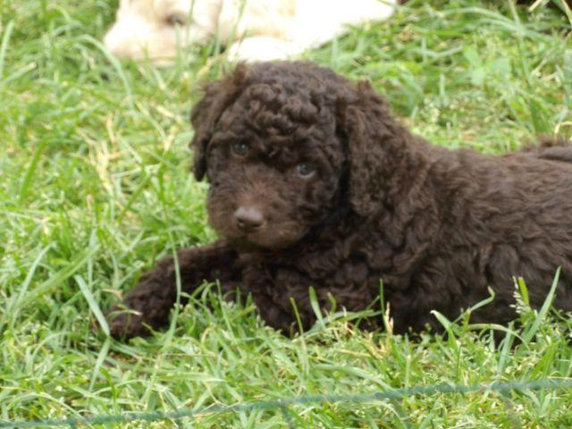 2nd Generation Chocolate Labradoodle Puppies For Sale In Colbert