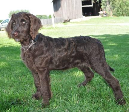 F1B Chocolate Female Labradoodle Puppy--trained