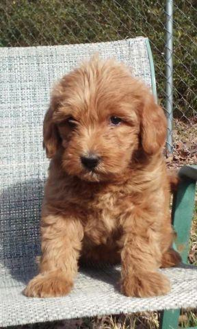 Ckc Small Medium Labradoodle Puppy For Sale In Jacksonville