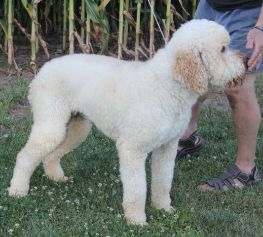 Red Mini Multigeneration Labradoodle Puppy