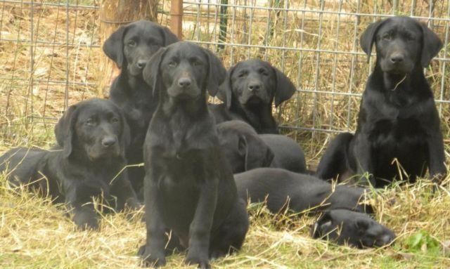 AKC Black Labrador Puppies
