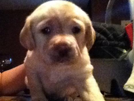 Akc Yellow labrador puppy