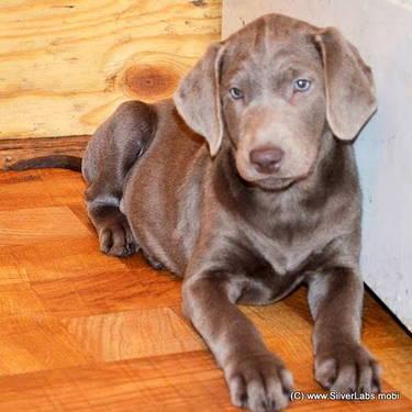 AKC Silver Labrador Pups