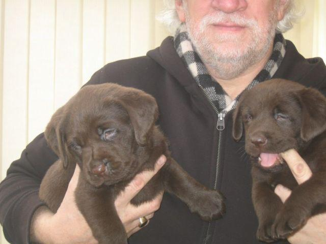 Gorgeous Chocolate Labs Puppies
