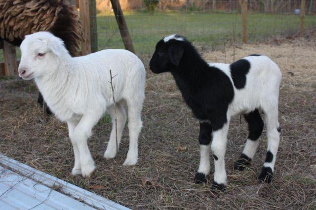 Dorper Cross Lambs for Sale in Bronson, Florida Classified
