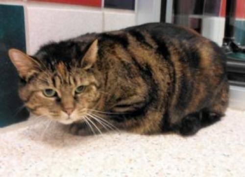 Domestic Short Hair - Little Bit - Large - Adult - Female - Cat