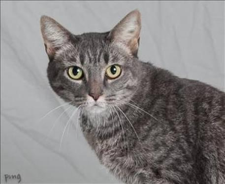 Domestic Short Hair - Miss Priss - Large - Adult - Female - Cat
