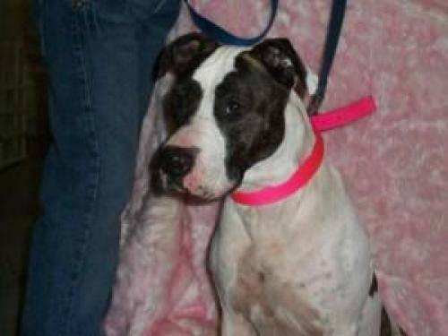 American Staffordshire Terrier - Mayla - Large - Adult - Female