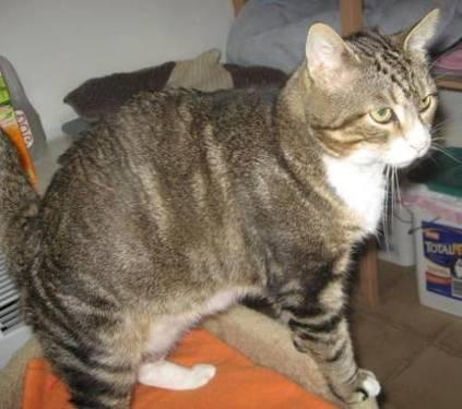 Tabby - Grey - Charlie - Extra Large - Adult - Male - Cat