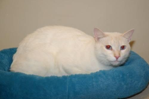 Domestic Short Hair - White - Pk - Large - Adult - Male - Cat