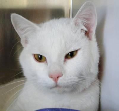 Domestic Short Hair - White - Flynn - Large - Adult - Male - Cat