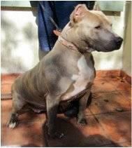 Pit Bull Terrier - Wu Tang - Large - Adult - Male - Dog