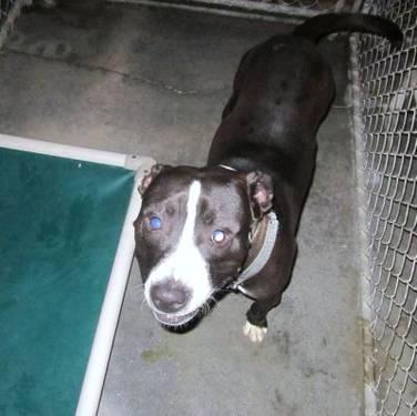 American Staffordshire Terrier - Dollar - Large - Adult - Male
