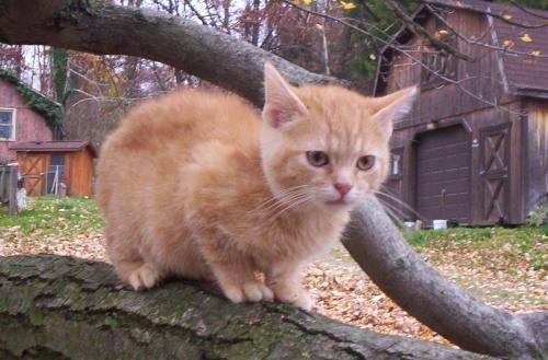 Tabby - Orange - Tigger (kitten) - Large - Baby - Male - Cat