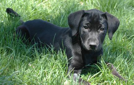 Labrador Retriever - Sherman ~pending~ - Large - Baby - Male