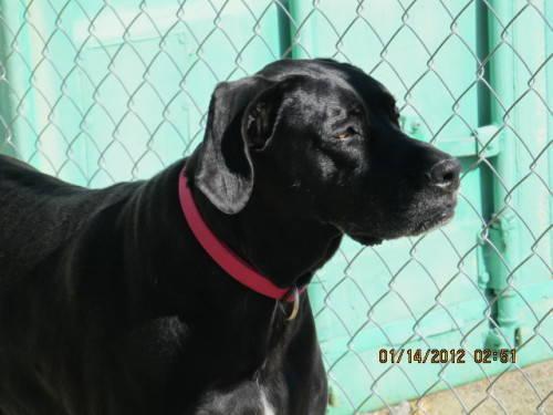 Great Dane - Bailey And Sadie - Large - Senior - Female - Dog