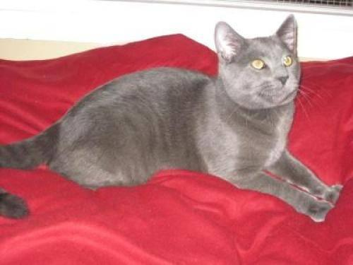 Domestic Short Hair - Gray - Leo - Large - Young - Male - Cat