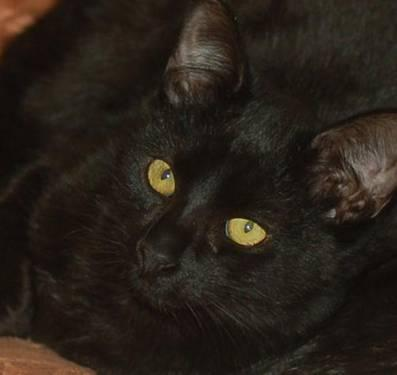 Domestic Short Hair - Black - Romeo - Large - Young - Male - Cat