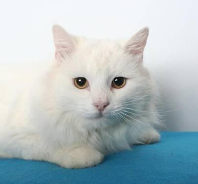 Domestic Long Hair - White - Lou - Large - Young - Male - Cat