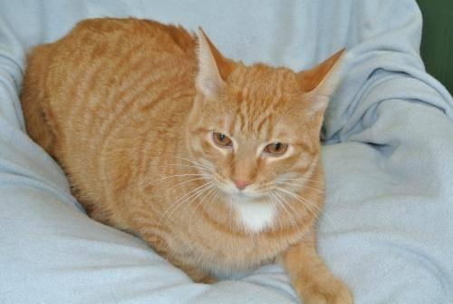 Domestic Short Hair - Orange - Hugo - Large - Young - Male - Cat