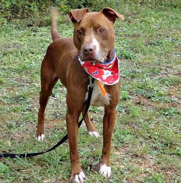 American Staffordshire Terrier - Champ - Large - Young - Male