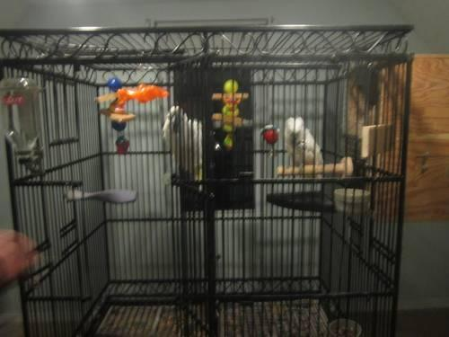 Male and Female Umbrella Cockatoos and large cage with divider .