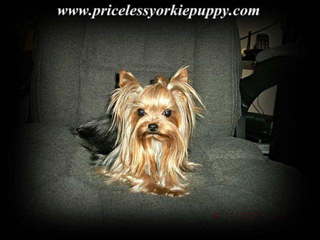 AKC Teacup Yorkie Yorkshire Male 2 5 lbs Stud Service not