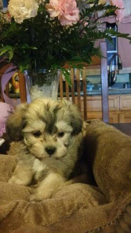 DESIGNER MORKIE **** LIL BEAR *** for Sale in West