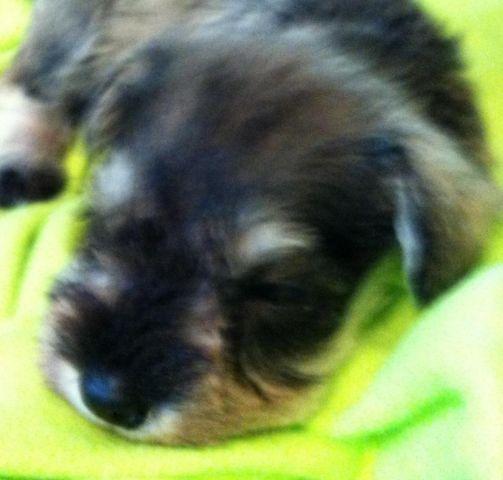AKC Registered Miniature Schnauzer Puppies Litter DUE Appox April