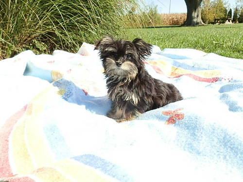 MORKIE Puppy!! Pretty little female available.