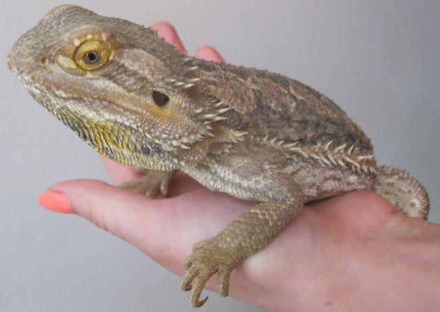 Bearded Dragon Lizards for Sale in Beechwood, Michigan