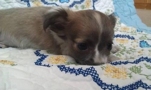 AKC Blue and White Chihuahua Long Coat Male Puppy