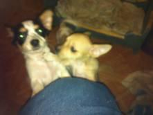 Chihuahua puppy one long hair