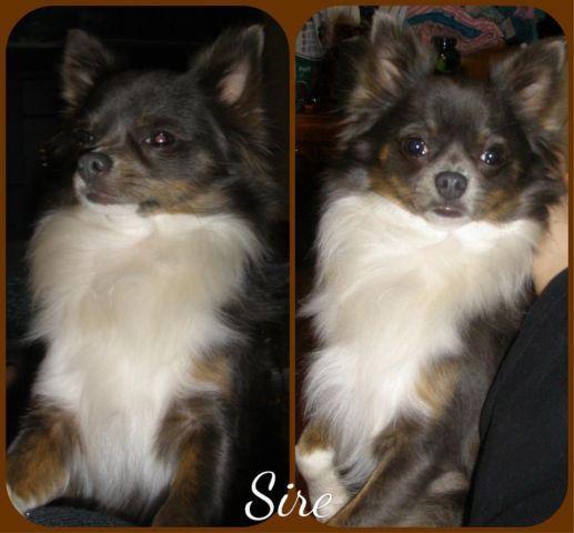 9 Month beautiful long hair Chihuahua