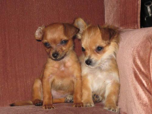 ADORABLE TINY YORKSHIRE TERRIER / LONG HAIR CHIHUAHUA MIX in Oceanside ...