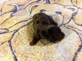 AKC DACHSHUND MINIATURE BLACK/TAN LONG HAIR PUPPY